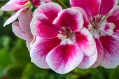picture of begonias  - close - JPG
