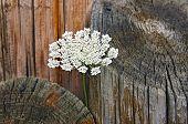 Queen Anne's Lace in logs