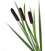 stock photo of cattail  - green reed cane grass Isolated on white background - JPG
