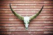 Longhorn Buffalo Skull