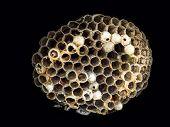 Wasp nidus shot on black background