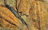 old fossils - trilobite