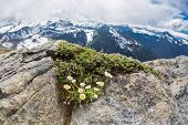 Alpine daisies at the peak Mt. Freemont looking toward Mt. Rainier Washington