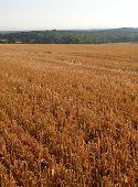 English crop field.