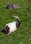stock photo of iceland farm  - Icelandic sheep with large horns in a green pasture