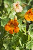 Nasturtium (indian Cress) Flowers