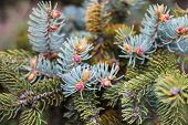 Branches Of The Blue Spruce With Young Pink Cones