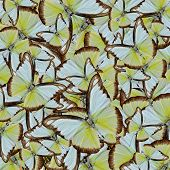 foto of albatross  - Compilation of Chocolate Albatross butterflies in to an exotic background texture - JPG