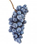 bunch of ripe dark grapes closeup on white background