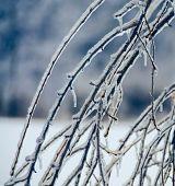 Ice on the Cherry Tree