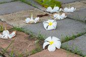 Plumeria drop on brick tiles