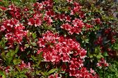 Red azalea shrub