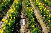 Willamette Tulips