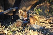 image of tiger cub  - A young tiger having its well - JPG