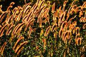 Grass Flower In The Golden Light