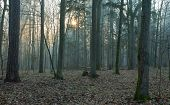 Sunrise Stand Of Bialowieza Forest In Mist