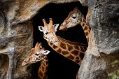 Three giraffes looking out of a cave