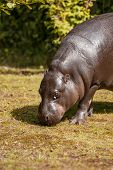 Small Hippopotamus Looking For Food