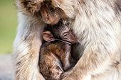 Berber Monkey Holding A Baby