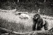Black And White Photo Of A Gorilla