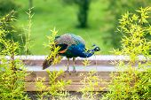 Beautiful Peacock Standing On Wood