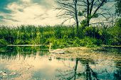 White Swan In A Calm River