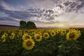 Sunset Over The Sunflowers Field