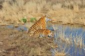 foto of tiger cub  - Portrait shot of a Bengal Tiger with her cub - JPG