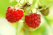 Two Ripe Fruit Of Red Raspberry Close Up