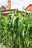 Thickets Of Corn In Garden In Village Backyard