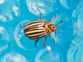 Colorado Potato Beetle Close Up