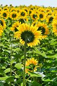 Sunflower Plantation In Caucasus