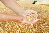 Peasant Hands Hold Seeds On Wheat Field
