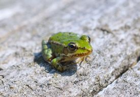 pic of baby frog  - Edible frog ( Rana esculenta) also known as the common water frog or green frog [[** Note: Shallow depth of field] ** Note: Visible grain at 100%, best at smaller sizes - JPG