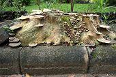 Wild Mushroom Grown On Stump