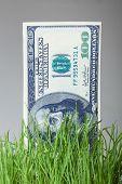 dollar bills growing in the green grass