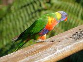 foto of lorikeets  - Rainbow lorikeet  - JPG