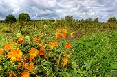Autumn Landscape With Calendula Flowers In Cloudy Day