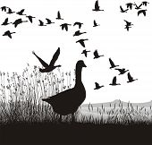 Before Migrating Geese
