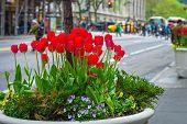 City Tulips