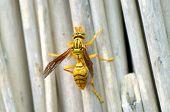 Honey Bee very closeup