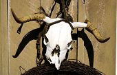 cow skull with barbed wire