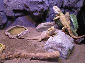 Beautiful Brown Lizard Family