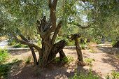 foto of gethsemane  - Old olive trees in the garden of Gethsemane on the mount of olives in Jerusalem - JPG