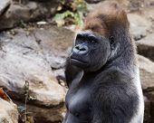 portrait of a silver back gorilla