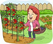 Illustration of a Woman Picking Fresh Tomatoes From the Garden