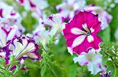 Blooming Of Purple Petunia Flowers