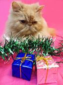 Portrait of the Persian pale adult cat with Christmas decorations