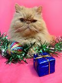 Portrait of the Persian cat adult fawn with Christmas decorations