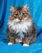stock photo of blue tabby  - Fluffy tabby kitten sitting on blue background - JPG